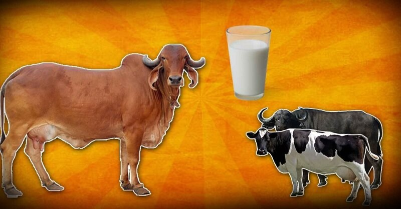 Difference between cow and buffalo milk
