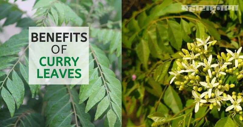 Benefits of curry Patta, Health fitness, Health Articles, Marathi News ABP Maza