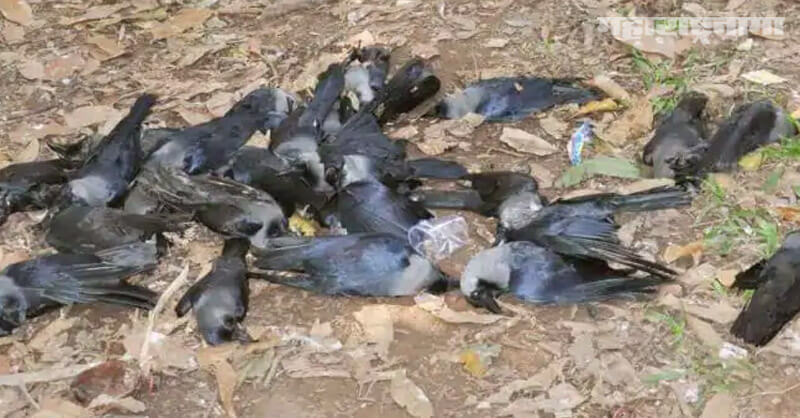 Fear of infectious, bird flu, virus found, Crows in Rajasthan