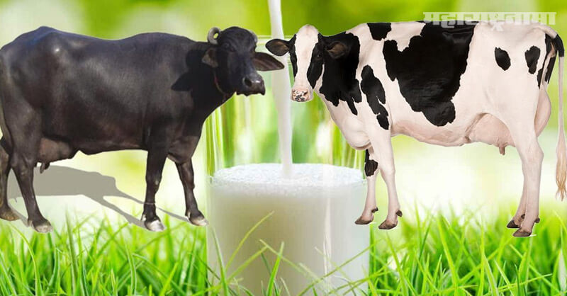 Buffalo Milk Benefits