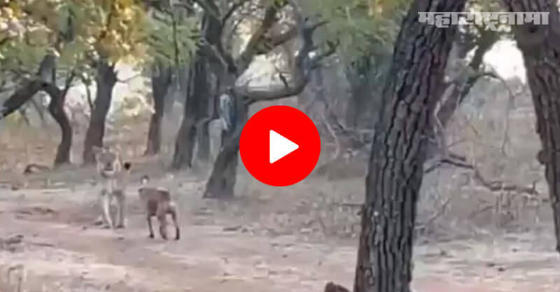 Dog fighting, lioness, forest, video viral