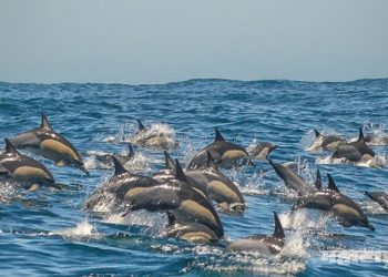 dolphins at guhagar beach in konkan