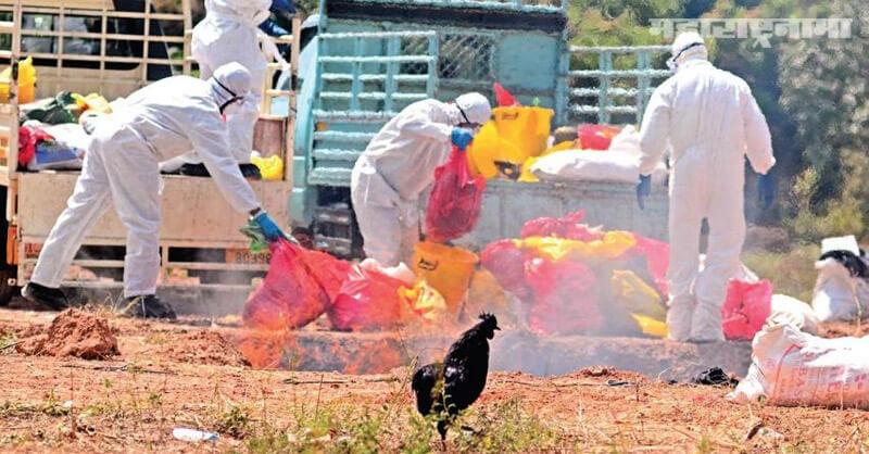 Sudden death, Hens, Amaravati, Bird Flu