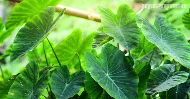 Taro Leaves, health benefits, Health article